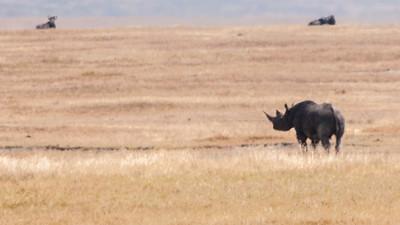 Black rhinocerous