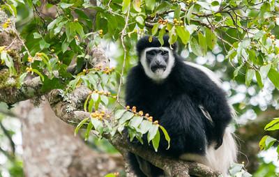 Colobus monkey, Arusha N.P., Tanzania.