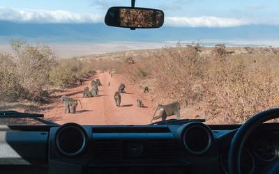 Baboons in road, Ngorogoro crater, Tanzania.