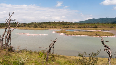 Lakeshores dotted with Lesser flamingo, Arusha N.P., Tanzania.