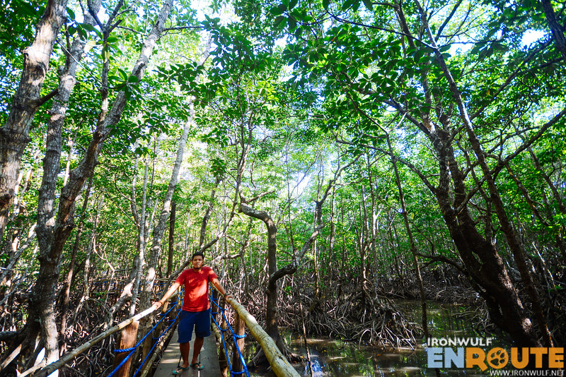 On the boardwalk among towering mangroves
