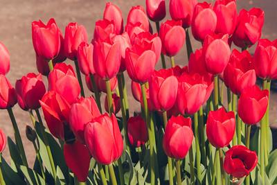 Woodburn Tulip Farm March 2015