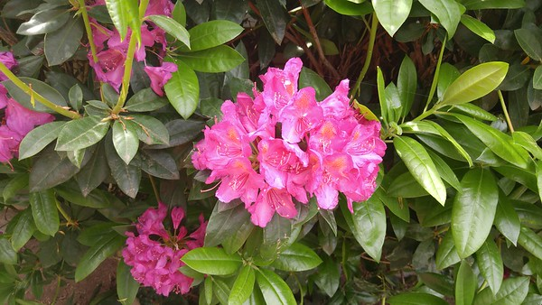 Rhododendroms around our apartment complex.