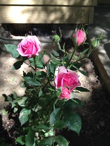 Rose bush Diane planted last year (2015) on Mother's Day.