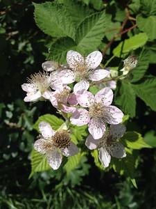 Blackberry bush flower