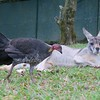 These Australian turkeys range all around the zoo. They're like pigeons, just much bigger.