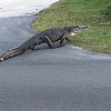 Alligator crossing the road. Photo by Julie on iPhone