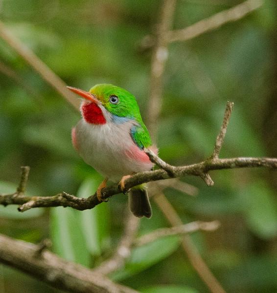 Cuban Tody Bird