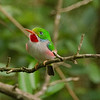 Cuban Tody Bird