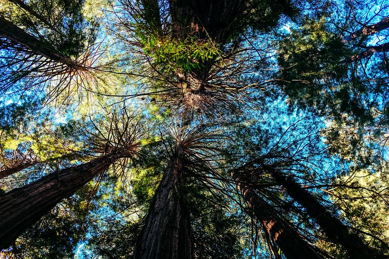 Muir Woods, Redwood Canopy, San Francisco