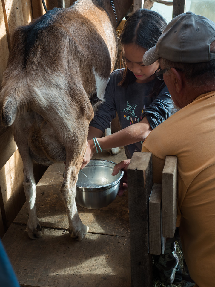 Lindsay milking a goat on at the Brown farm.