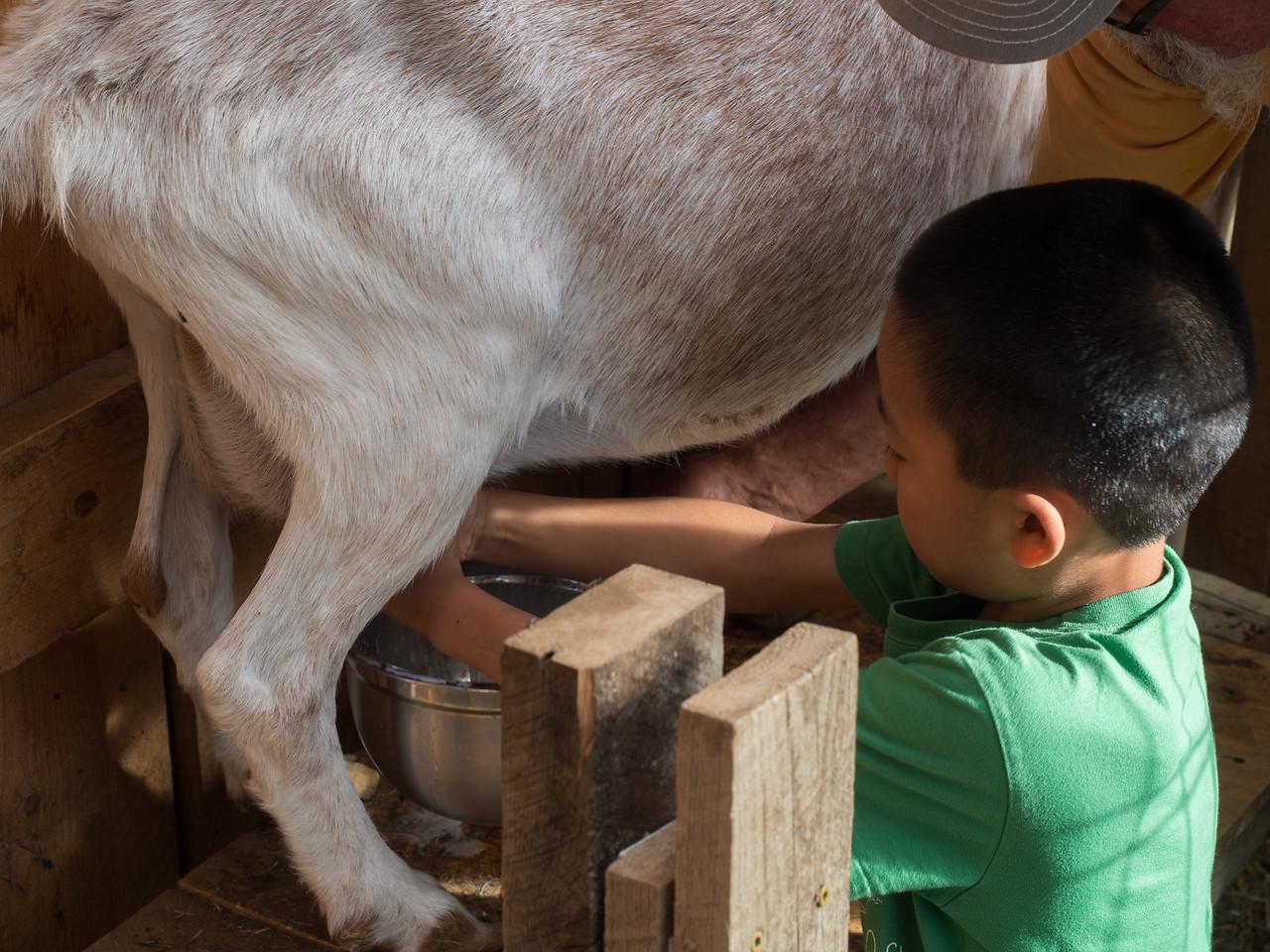 Nolan milking a goat.