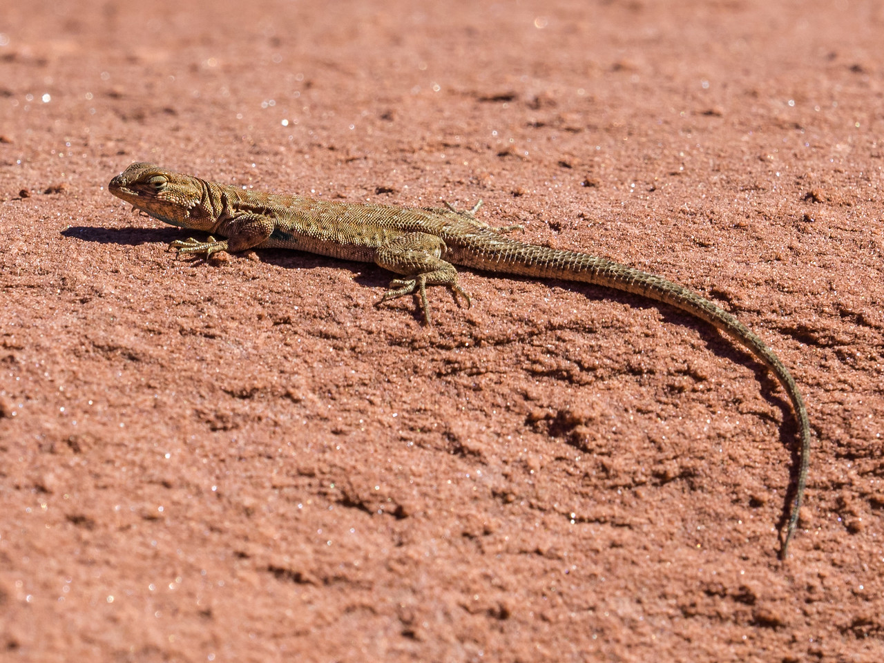 Small Lizard, Canyonlands.