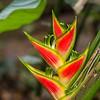 Heliconia Wagneriana