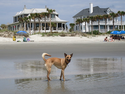 Marley, our Turks & Caicos Potcake, on the beach on IOP