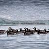 Jökulsárlón - Glacier Lagoon<br /> Barnacle Geese