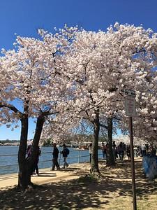 Cherry Blossom, Tidal Basin