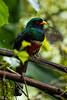 Ecuadorian Masked Trogan
