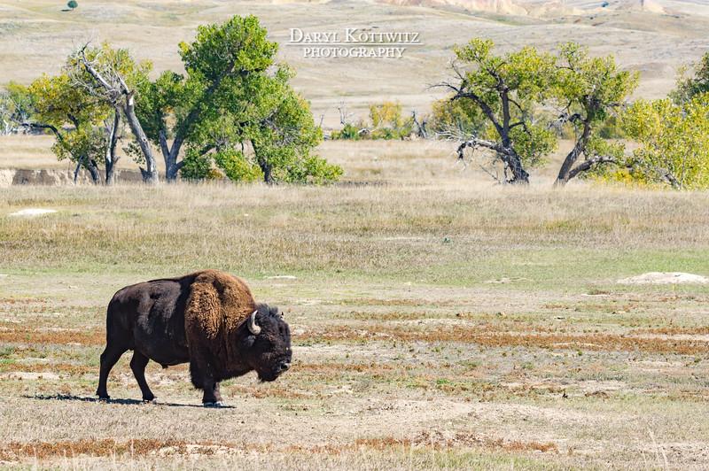 Lumbering Bull Buffalo