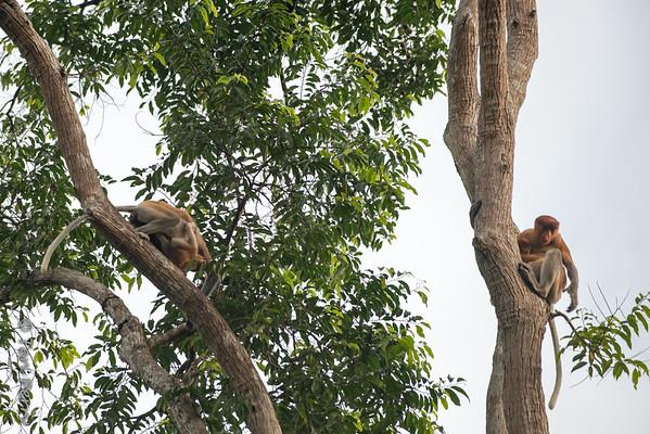 Monkey -  Proboscis mom and baby -5576