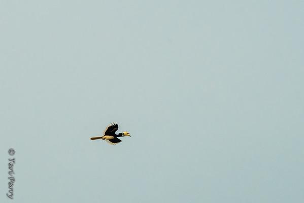 BIRD - hornbill-5516