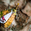 INSECT - lantern bug-