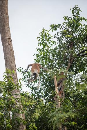 Monkey -  Proboscis jumping -5556