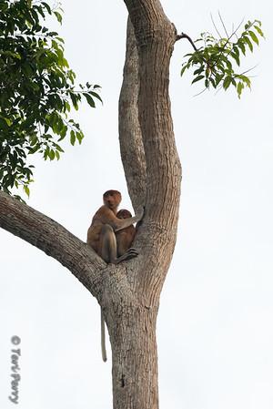 Monkey -  Proboscis mom and baby -5584