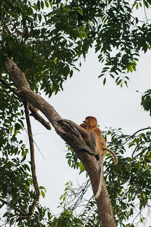 Monkey -  Proboscis mom and baby -5568