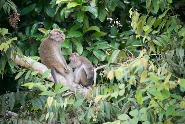 MONKEY - Macaque-5012
