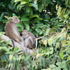MONKEY - Macaque-5012