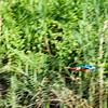 BIRD - stork billed kingfisher-in flight -5666