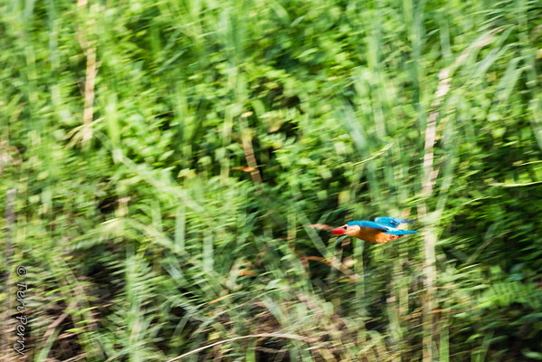 BIRD - stork billed kingfisher-in flight -5666