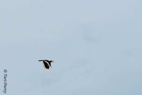BIRD - hornbill-5504