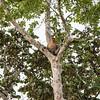 MONKEY -  proboscis male -5491