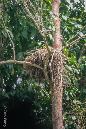 BIRD - eagle in nest -5375