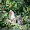 MONKEY - Macaque-5017