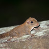 SQUIRREL - pygmy-4968