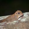 SQUIRREL - pygmy-4968