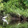 BIRD - egret-5647