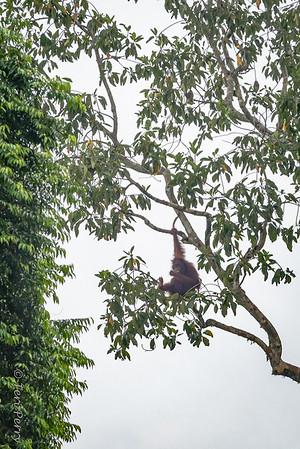 APE - orangutan-5168