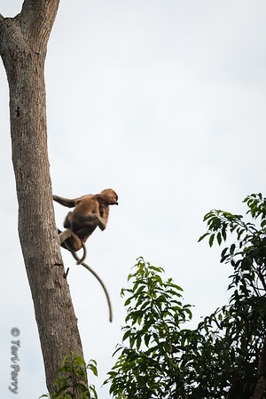 Monkey -  Proboscis mom and baby jumping-5585