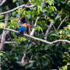 BIRD - stork billed kingfisher-5646