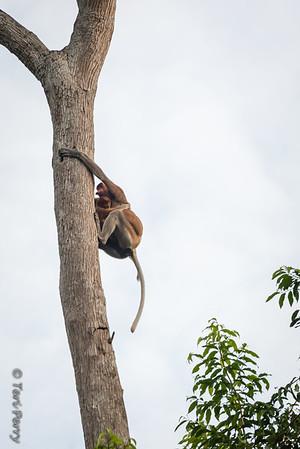 Monkey -  Proboscis mom and baby -5578