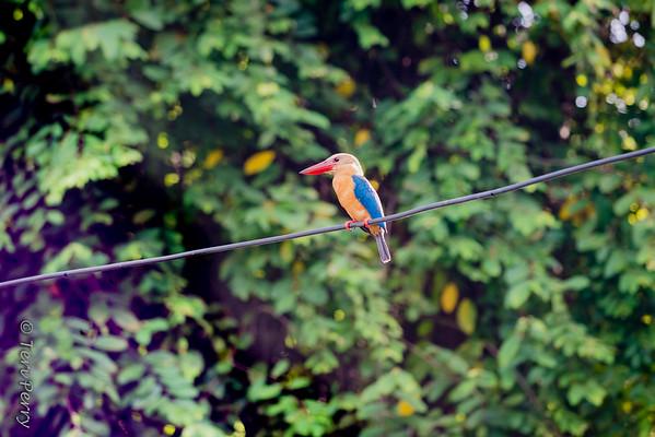 BIRD - stork billed kingfisher-5665