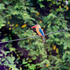 BIRD - stork billed kingfisher-5665