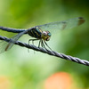 INSECT - dragonfly-5451