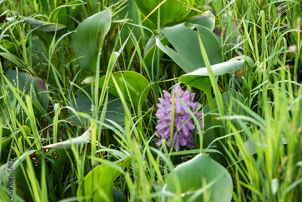 RIVERSCAPE - flower water hyacinth -5219