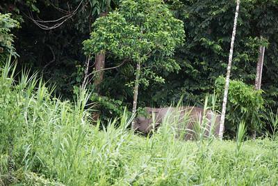 """ELEPHANT - """"pygmy""""-5472"""
