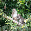MONKEY - Macaque-5021